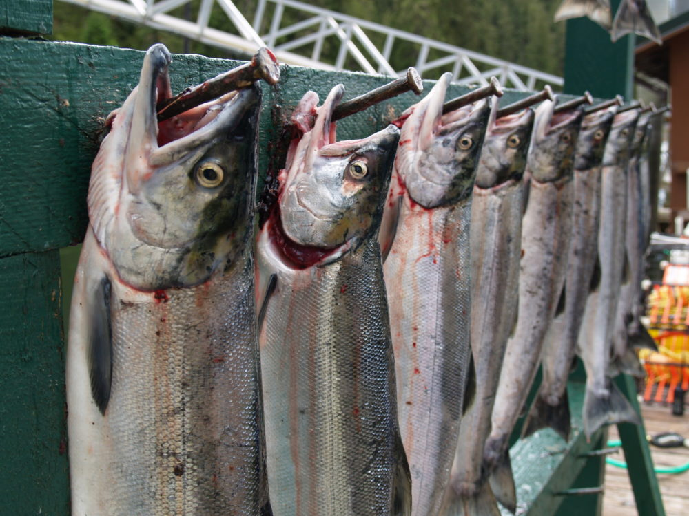 Silver salmon lined up on fish rack at The Lodge at Whale Pass