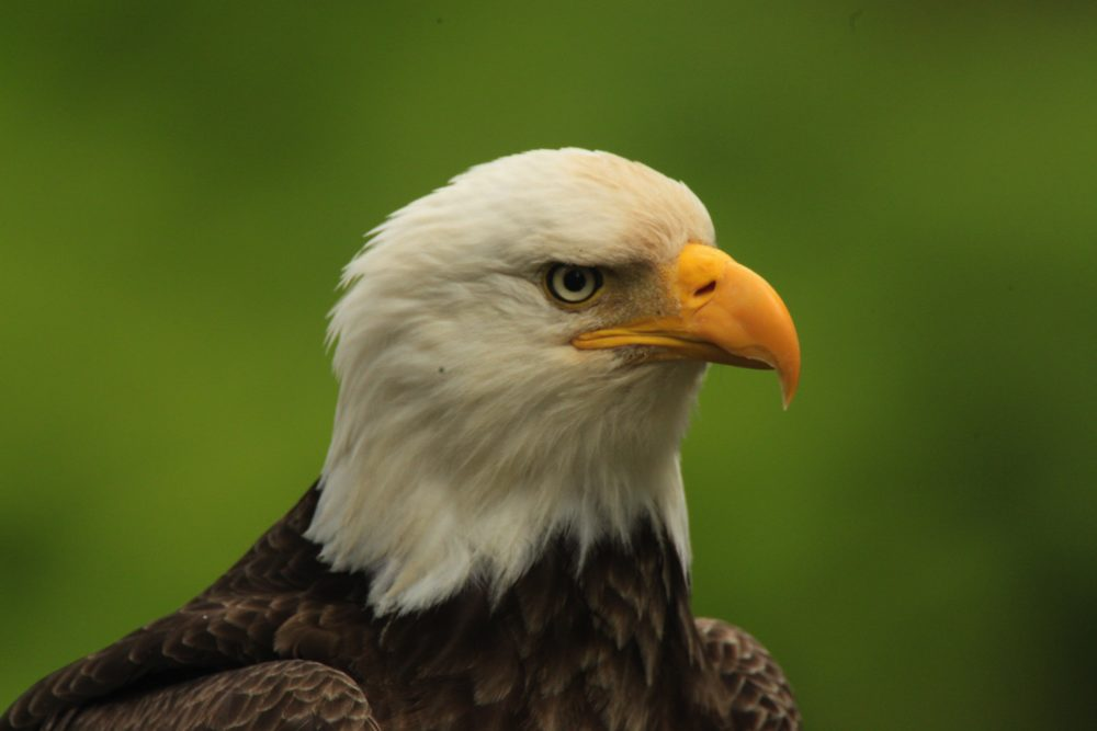 Bald Eagle Head with Green Background