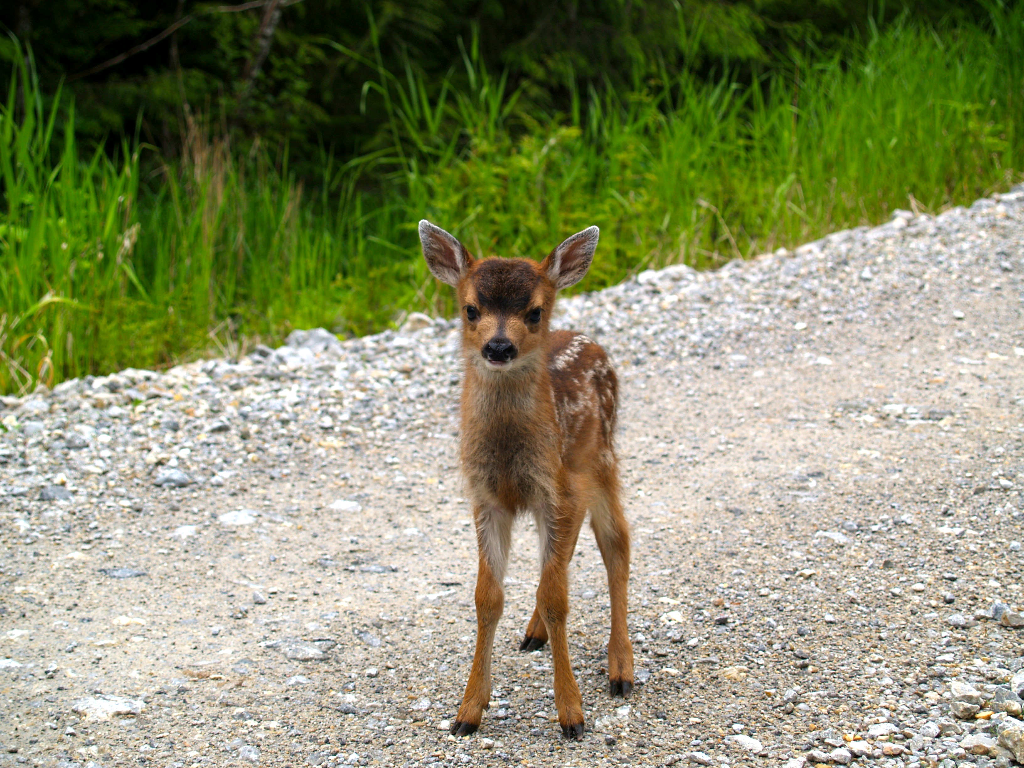 Sitka Black Tail Deer Fawn in Middle of Gravel Road